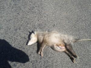Oregon Coast Loop Dead Possum